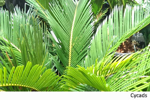 poison-plants-cycad