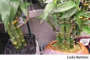 poison-plants-luckybamboo