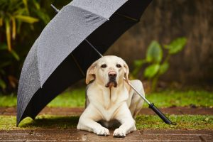 Labrador retriever in rain is waiting under umbrella.