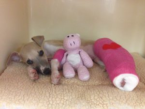 puppy-broken-leg-uw