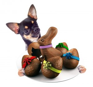 Cute Chihuahua dog have tasty dish between the legs with chocola