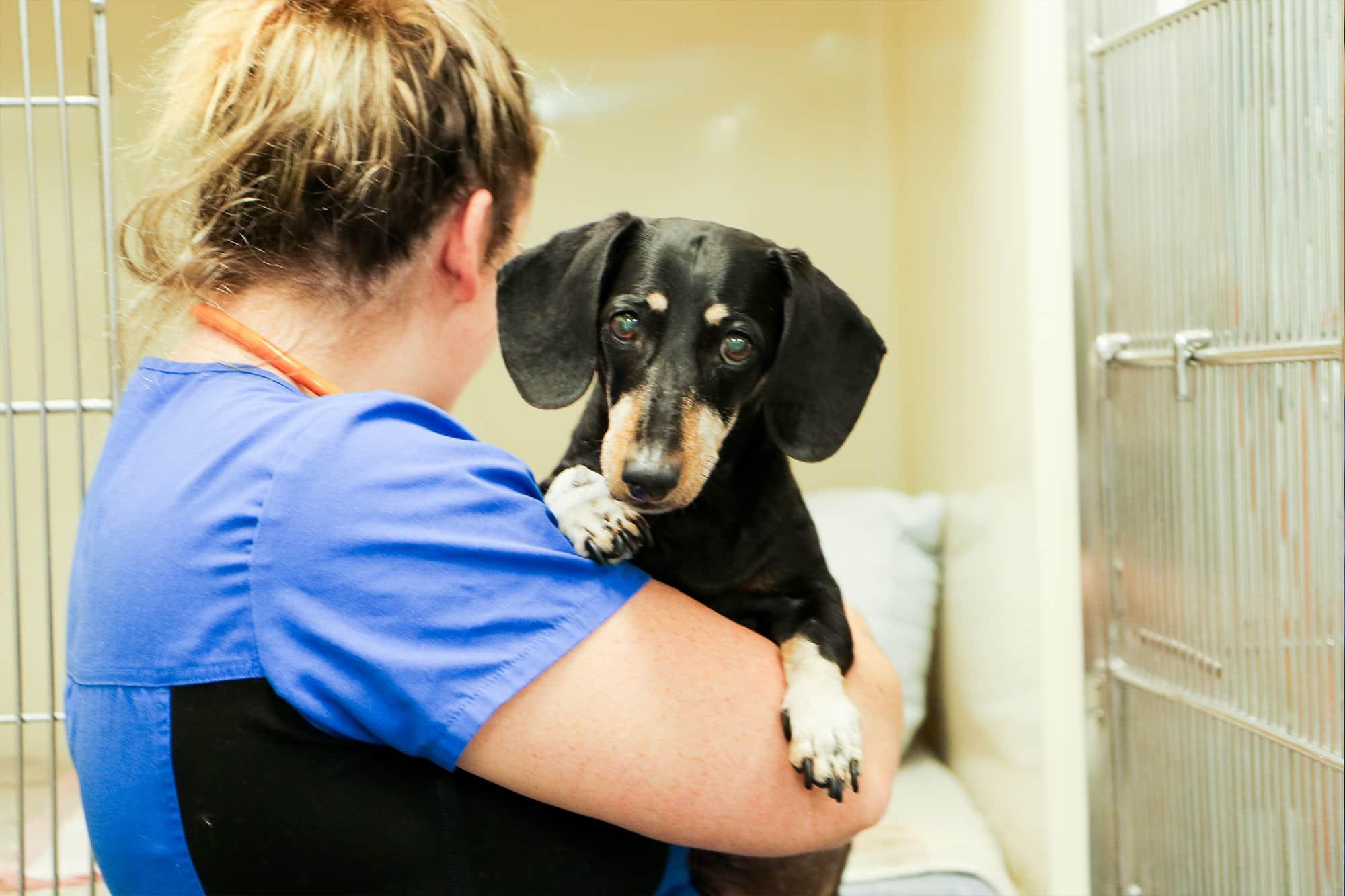 Black dachshund on the arm of a nurse at Animal Emergency Service Carrara
