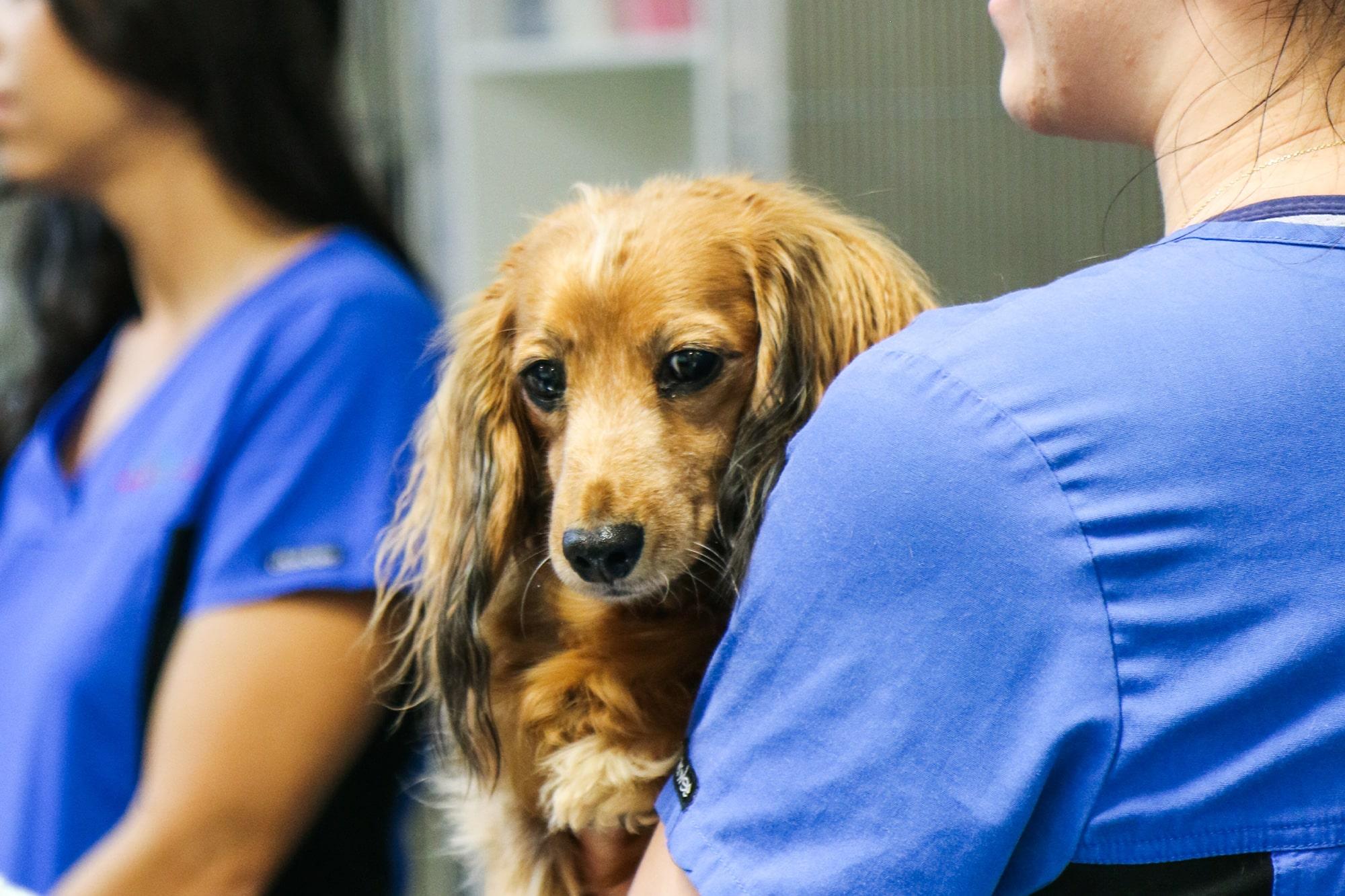 Brown dachshund at Animal Emergency Service Carrara on the arm of a nurse